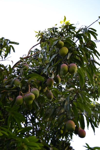 Mangoes growing on trees